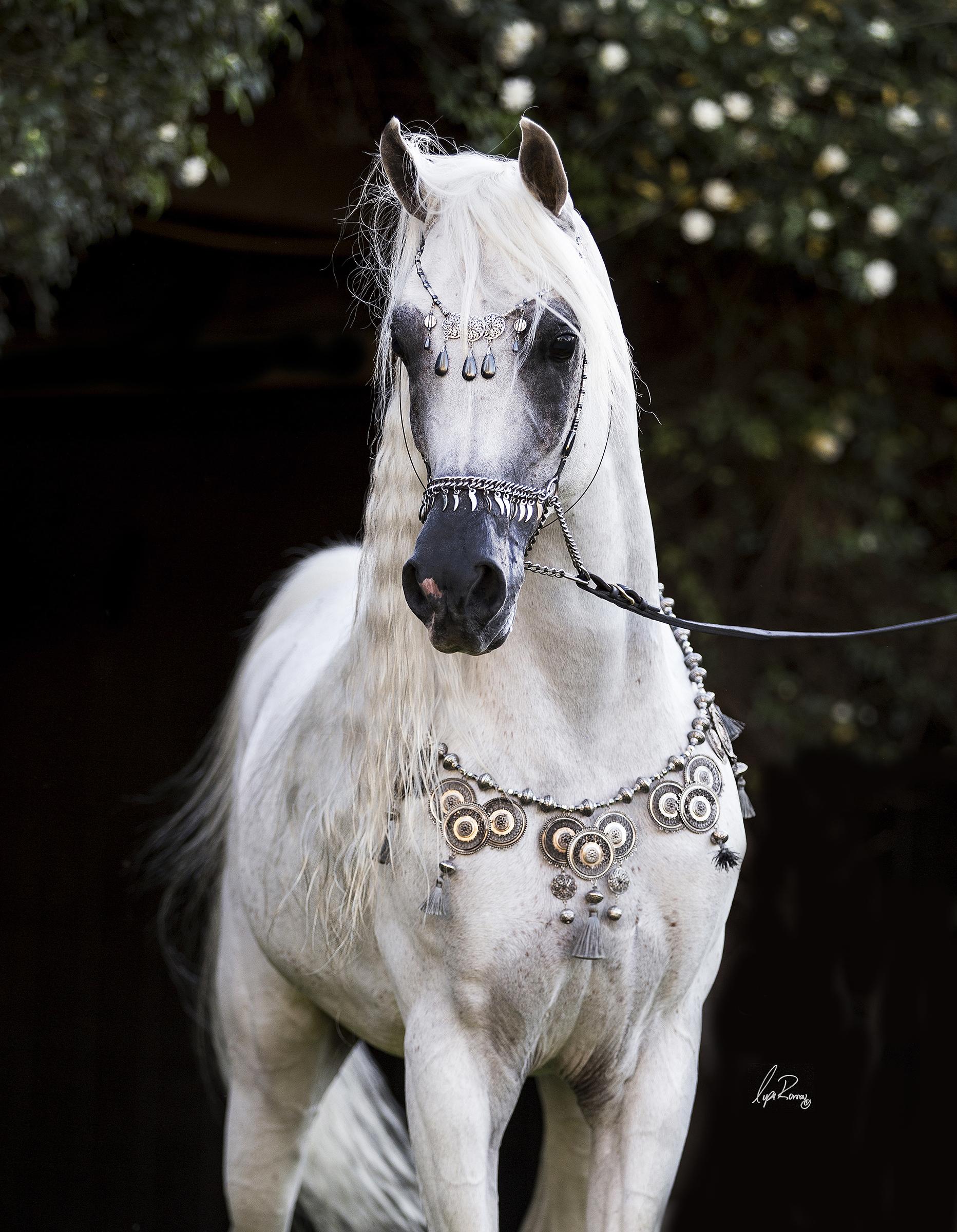Lysa Roman Photography Arabian Horse Exchange