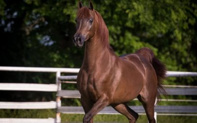 Horses For Sale | Arabian Horse Exchange